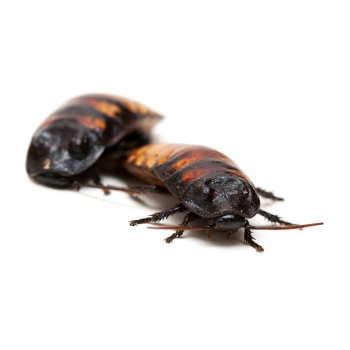 Cockroach & cockroaches control, proofing & removal by Isca Pest Control, Exeter, Devon