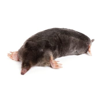 Moles control proofing & removal from isca pest control