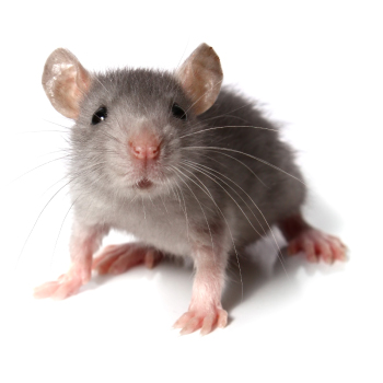 Mouse & mice control, proofing & removal by Isca Pest Control, Exeter