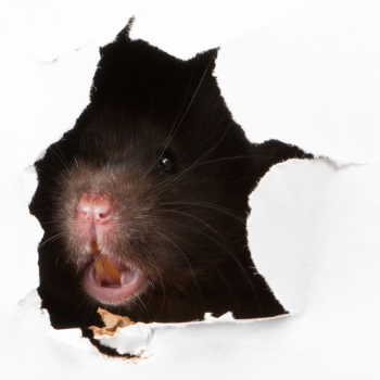 Pest Rat can be treated by Isca Pest Control, Exeter in Devon
