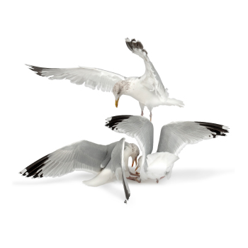 Seagull bird control, proofing & removal by Exeter's Isca Pest Control
