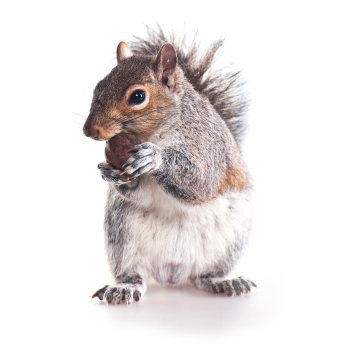 Squirrel control, proofing & removal by Exeter's Isca Pest Control