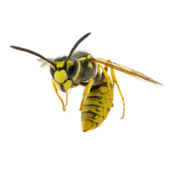 Wasp control, proofing & removal by Exeter's Isca Pest Control
