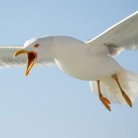 Seagulls nesting season starts soon!
