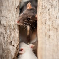 Mice & rats hiding in your warm home?