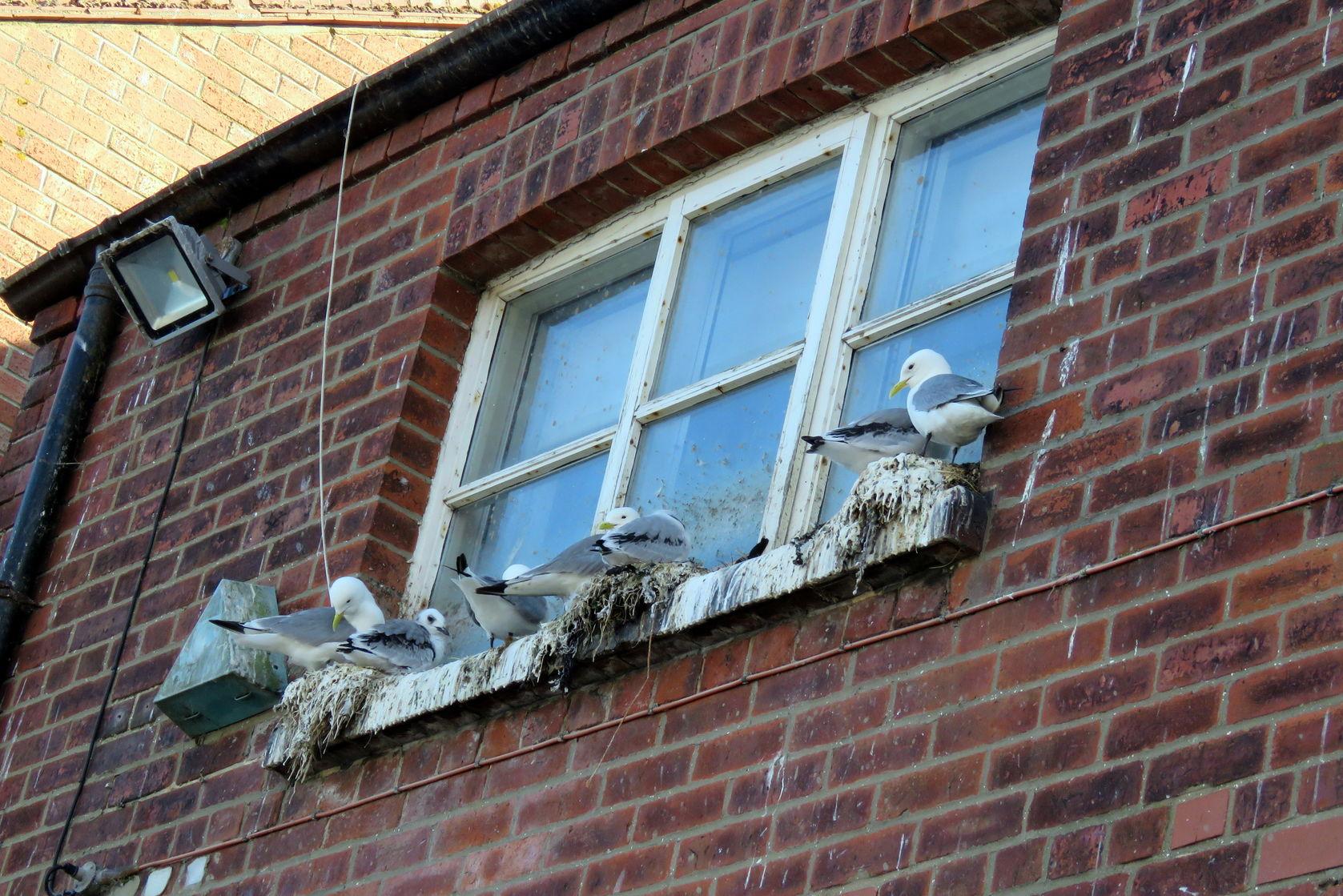 Pest seagulls nesting on house