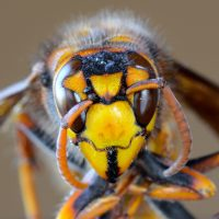 Look out for Asian Hornets