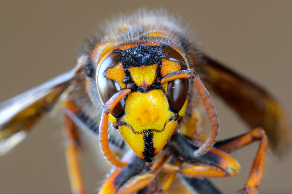 Asian Hornet Exeter Isca Pest Control