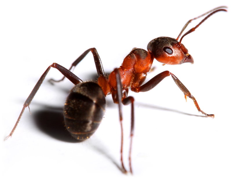 Exeter Ant Attack Isca Pest Control insect pest controller